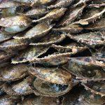 志摩市英虞湾より アコヤ貝たちがこの先無事 元気に真珠を育んでくれることを祈るばかり