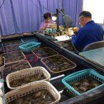 志摩市英虞湾より 水温もグングン上がり、 アコヤ貝の排卵作業も順調に