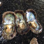 志摩市英虞湾より 今年の母貝はなかなか順調